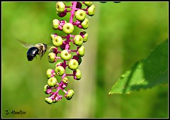 Pokeweed (and a bee) (Suzanham) Tags: pokeweed bee insect bug macro weed berry mississippi noxubeewildliferefuge wildlife vegetation flora