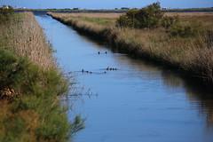 El Clot, Delta de l'Ebre (PakoGONZO) Tags: delta ebre ebro deltebre tarrgona river sea mediterranean ducks birds water nophotoshop nofilter canon canon6d places2visit