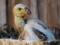 Lil' vulture (FocusPocus Photography) Tags: bird animal chick vulture tier vogel geier kken gypsrueppellii rppellsgriffonvulture sperbergeier geierkken