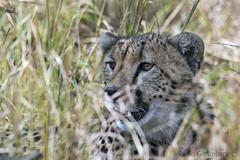 Ghepardo, Cheetah, Acinonyx jubatus (paolo.gislimberti) Tags: tanzania serengeti africanmammals africanparks parchiafricani mammiferiafricani felini felines predatori predators carnivori flesheatinganimals mimicry mimetismo