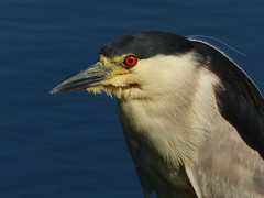 Black-crowned Night-heron (annkelliott) Tags: alberta canada eofcalgary nature ornithology avian bird birds blackcrownednightheron nycticoraxnycticorax adult perched standing woodenpost water slough sideview closeup outdoor summer 18july2016 fz200 fz2004 annkelliott anneelliott anneelliott2016 allrightsreserved 24millionviews 24000000views 24millionthankyous