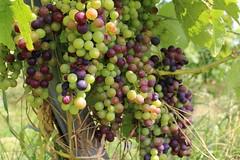 Wein (helensfotos) Tags: wein weintrauben