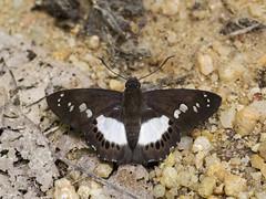 Seseria affinis kirmana (Malayan White Flat) - Pyrginae (Green Baron Pro) Tags: butterfly lj malaysia raub hesperiidae pyrginae 201607 raublj