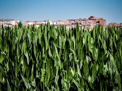 MaiZamora (Luicabe) Tags: naturaleza planta arquitectura exterior zoom edificio cereal ciudad paisaje luis zamora cabello profundidaddecampo airelibre cieloazul maz yarat1 enazamorado luicabe