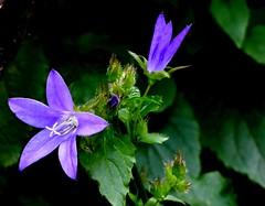 Am Wegesrand (chrisheidenreich) Tags: blume flower lila violett summer sommer plant pflanze