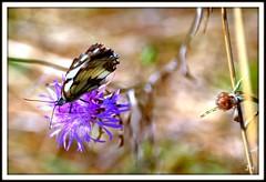 Couleurs papillon (1) (au35) Tags: papillon couleurs colors butterfly insecte nature fleur hdr