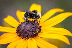 Black-eyed Susan and Bumble (RaminN) Tags: blackeyedsusan flower macro bee bumblebee
