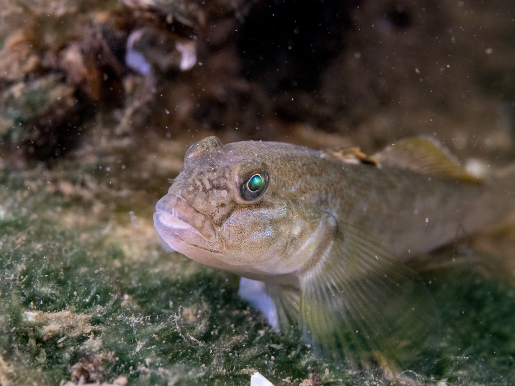 The world 39 s best photos of freshwater and goby flickr for Freshwater goby fish