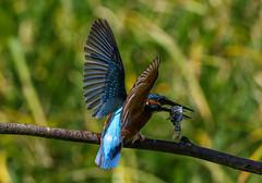 Kingfisher Female Alcedo atthis 075-1 (cwoodend..........Thanks) Tags: 2016 brandon brandonmarsh steetleyhide westmarshpool wwt warwickshirewildlifetrust kingfisher kingfisherfemale alcedoatthis