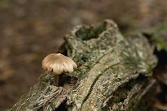 Wherever (Fiddling Bob) Tags: mushroom fungus log knothole fallentree forestfloor