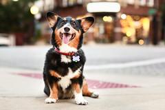 Koda Bear (Brian.Buckler) Tags: chicago andersonville foursided corgi clark pembroke dogphotographer brianbuckler tricolor tri black cute kodabear city bokeh canon 50l