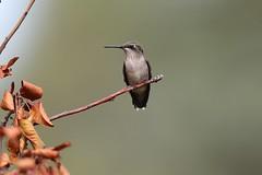 Ruby-throated Hummingbird (mobull_98) Tags: rubythroatedhummingbird hummingbird