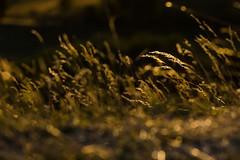 Coucher du soleil sur le plateau de l'Aubrac  Marchastel, Lozre, Languedoc-Roussillon (lyli12) Tags: aubrac coucherdesoleil lozre paysage landscape nature lumire soir t campagne herbe nikon d7000 tamronsp70200f28divcusd soleil sunset sun coucher