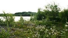 5-060619 Koldinger See 032 (hemingwayfoto) Tags: botanik flora juni koldingersee natur regionhannover sommer wildblume