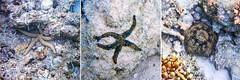 Starfish and Cushion Star (Nikita Hengbok) Tags: vacationinmaldives maldives sunislandresort tropicalparadise nalaguraidhooisland naturephotography fauna animals nature animalsofsingapore wildlifeofsingapore wildanimalsofsingapore wildlifephotos wildlifepics wildlifephotography fish marinecreatures marinecreaturesofsingapore macrophotography marineanimals starfish cushionstar