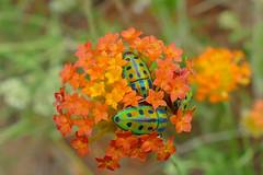 Rainbow Shield Bugs (Calidea sp.) on Ruby Gnidia (Lasiosiphon rubescens) (berniedup) Tags: calidea kruger orpen rainbowshieldbug rubygnidia scutelleridae southafrica taxonomy:genus=calidea thymelaeaceae lasiosiphonrubescens taxonomy:binomial=lasiosiphonrubescens