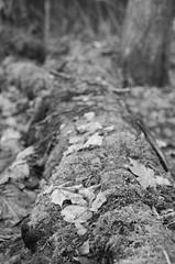 Decayed fallen tree, moss and leaves #1 (Oula Juutilainen) Tags: blackandwhite bw plants tree film nature leaves 35mm blackwhite moss 11 fallen developers bnw tmax100 xtol tmx kodaktmax100 epsonperfectionv800photo