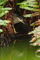 BCNH (baro-nite) Tags: birds pentax k5 avifauna blackcrownednightheron nycticoraxnycticorax nycticorax greencay smcpentaxda14300mm hdpentaxdaafrearconverter14xaw