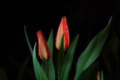 1-IMGP8502 (PahaKoz) Tags: flowers plant flower nature night garden spring flora tulips blossom tulip bloom buds bud           nightography
