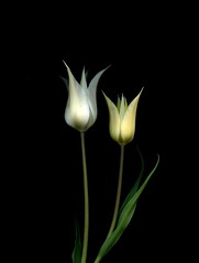 56630.01 Tulipa (horticultural art) Tags: flowers art tulips bouquet horticultural tulipa