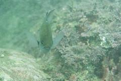 20150606-DSC_8120.jpg (d3_plus) Tags: street sea fish nature japan walking tokyo scenery underwater fine sightseeing sunny diving daily snorkeling freediving    kanagawa hayama     dailyphoto  j4  thesedays  waterproofcase skindiving      nikon1  1030mm shibasakibeach  1  nikon1j4 1nikkorvr1030mmf3556pdzoom  nikonwpn3 wpn3