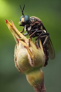 Asilid fly - Zwarte bladjager