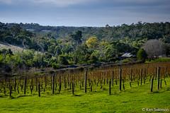 The Briars, Mt Martha. (kensol72) Tags: green grass 35mm vines fuji australia victoria grapes fujifilm homestead fujinon vinyard xf thebriars briars mtmartha xe2 fijinon