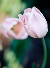 Tulip DOF (Mary Susan Smith) Tags: pink two tulips pastel pale shallowdof twoofakind gamewinner challengeyouwinner cychallengewinner