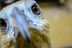 Angry Bird (akilan_dhanapal) Tags: birds animal animals danger zoo focus eagle time angry vandalur