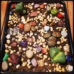 #lithops #livingstone #garden (xinem) Tags: stone square living succulent rocks squareformat planter mayfair lithop iphoneography instagramapp uploaded:by=instagram