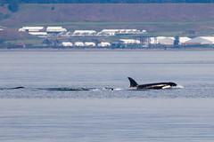 Transient orcas (5/21/15) (wanderinggrrl) Tags: year2 week52