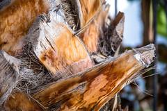 Palmenstamm Detail (tomac_foto) Tags: detail grancanaria outdoor urlaub palme baum 2016 baumstamm