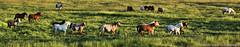 Horses at Sunrise in Jackson Hole, Wyoming (David C. McCormack) Tags: ranch horses rural sunrise cowboy meadow wyoming tetons jacksonhole roundup grandtetonnationalpark