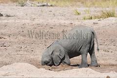 10075758 (wolfgangkaehler) Tags: africa elephant mammal nationalpark digging african wildlife dry zambia africanelephant babyelephant southernafrica animalbabies babyanimal babyanimals 2016 zambian dryriverbed southluangwanationalpark animalbaby africanelephantloxodontaafricana diggingforwater