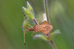Syromastus rhombeus - Punaise (Sbastien Vermande) Tags: wild france macro nature insect spring bokeh lot printemps insecte macrolens macrophotography midipyrnes macrophotographie insectmacro canon7d sigmaapoteleconverter14xexdg sigma150macroexdg vermande