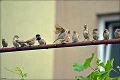 Sparrows (franciska_bosnjak) Tags: bird nature nikon sparrow d3100