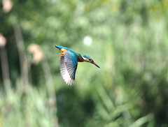swooping Kingfisher (quarzonero ...Aldo A...) Tags: swooping kingfischer martinpescatore bird nature coth coth5 sunrays5