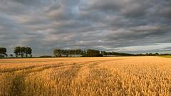 avond in de polder (robvanderwaal) Tags: netherlands eveninglight graan avond nederland grain 2016 avondlicht rvdwaal corn robvanderwaalphotographycom lucht veld robvanderwaalfotografienl sky landscape landschap evening polder field