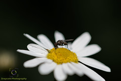 Wild daisy and fly.jpg (Draycott Photography) Tags: 70d staffordshire color macrolens gardenflowers nature draycott canon colour garden macro naturebest draycottintheclay canon70d flower macrophotography flowers colourful draycottphotography