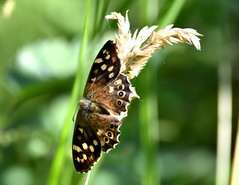 Speckled Wood Butterfly. (pstone646) Tags: butterfly nature insect bokeh closeup flora kent ashford animal sunshine fauna
