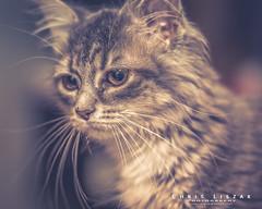 Tiana Gorgeous (Chris Liszak Photography) Tags: chrisliszakphotography nikond7100 petphotography photo pets pet stunning sharp wow cat cats kitten kittens hazy hireme