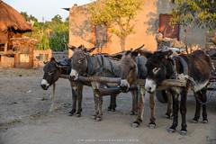 Working Donkeys (w.mekwi photography) Tags: sunset animals work donkeys huts zimbabwe burden nikond800 mvuma wmekwiphotography