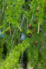 Beautiful evergreen (MATluong) Tags: sonyalphadslr matluong evergreen tree trees green forest summer spring marylake europeanlarch larch larixdecidua sonya7 sel5518z