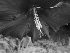 Flower in black and white (I'm red, though!) (marcy0414) Tags: macromondays flowerinblackandwhite flower blackandwhite bw macro macromonday flowers