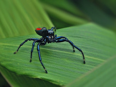 Spider (Henry Zou) Tags: spider arachnid machu picchu peru amazon cloud forest diversity macro micro close closeup up black red legs fangs small organism conservation nature wildlife photography
