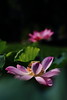 192A15NN (HL's Photo) Tags: nature flower lotus blossom blooming macro pink red outdoor