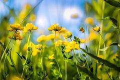 Mellow Yellow (Wes Iversen) Tags: flowers nature grass brighton michigan blossoms grasses wildflowers milford blooms nikkor50mmf18 hss kensingtonmetropark sliderssunday