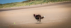 Hover Dog (SpookyGhost1) Tags: dog beach fun flying running izzy lythamstannes hover canon70d
