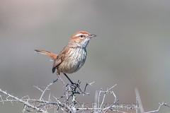 Rufous Fieldwren (chrissteeles) Tags: rufousfieldwren fieldwren bird birding hawker flindersranges southaustralia sa outback