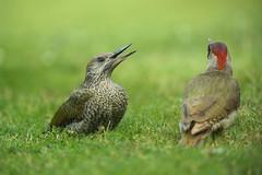 European Green Woodpecker  Picus viridis (Roger Wasley) Tags: european greenwoodpecker picusviridis gretton gloucestershire birds britain british malvernhills worcestershire herefordshire